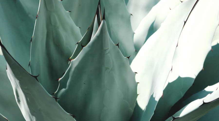 Aloe Vera – the all-rounder for beauty and health